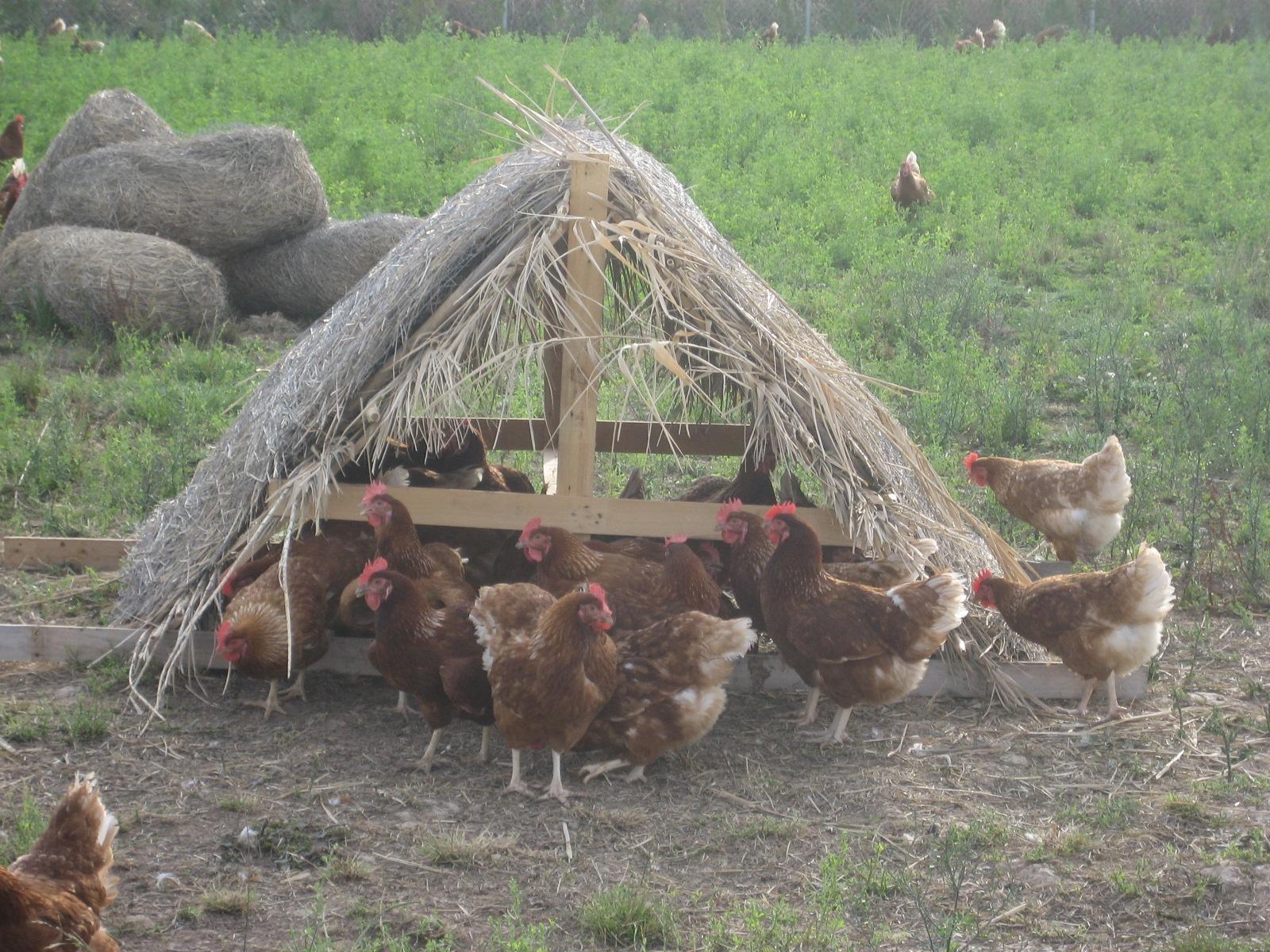 Refugios Granjas De Gallinas Camperas Calidad Agroambiental