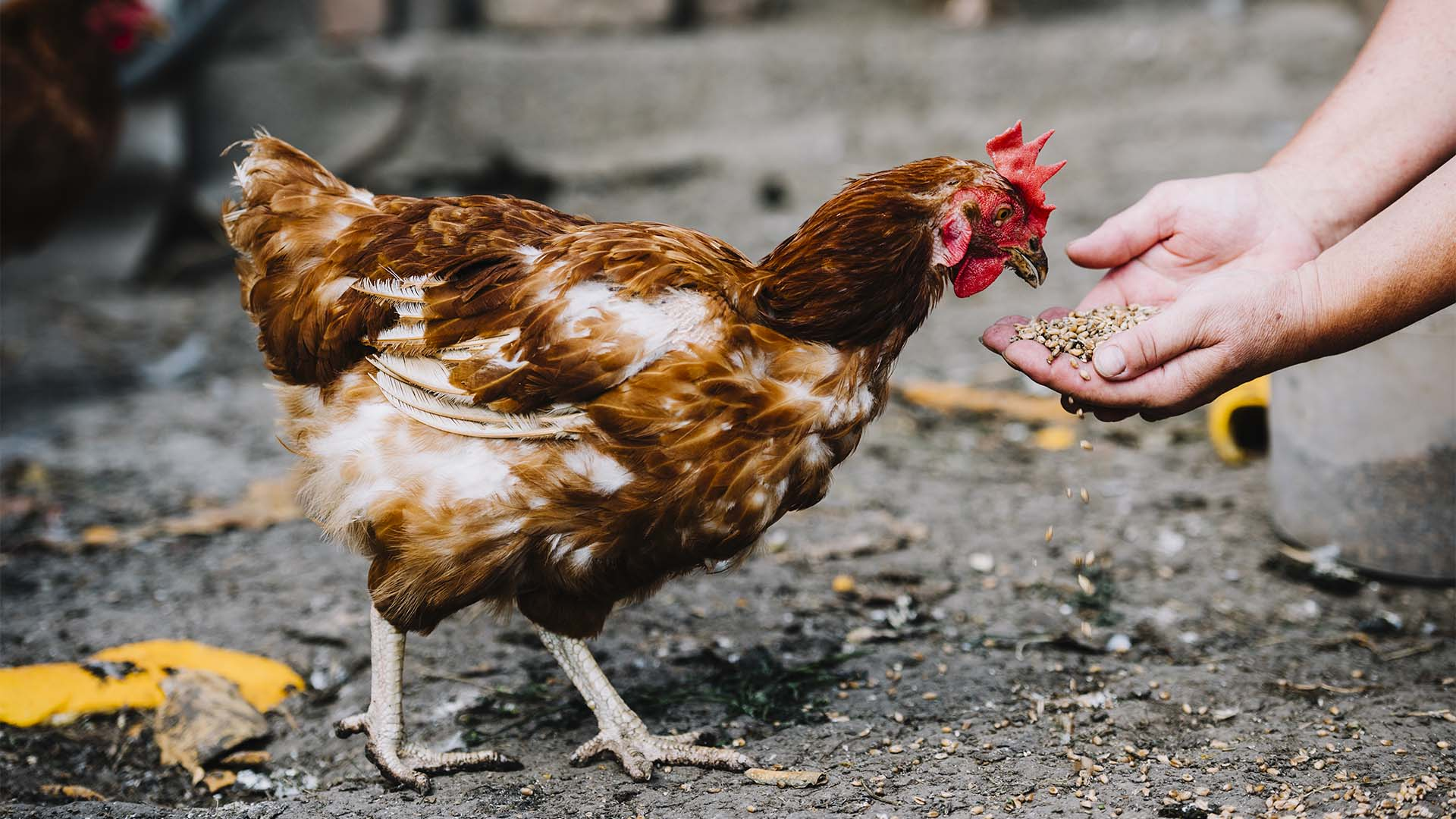 Sacrificio de pollos camperos