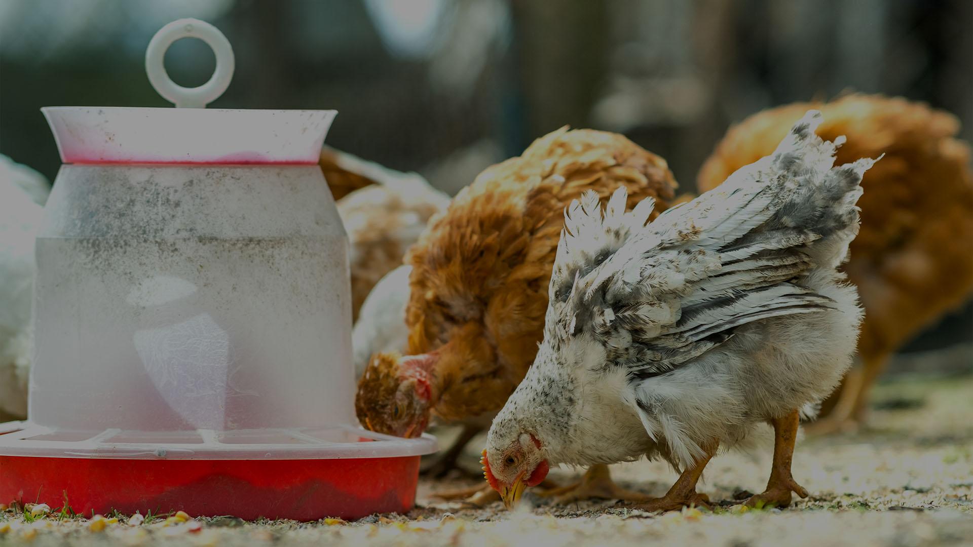 Se dispara la compra de gallinas por el miedo a la pandemia de coronavirus